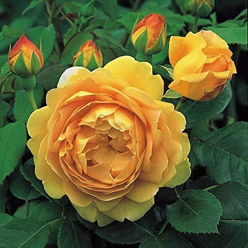 'Golden Celebration' -R-, Englische Rose in A-Qualität Wurzelware
