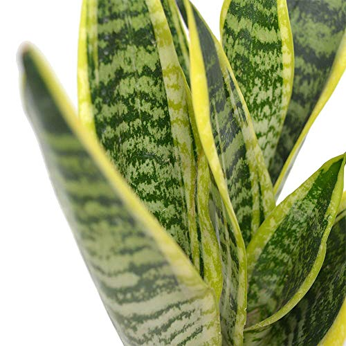 "AMERICAN PLANT EXCHANGE Sansevieria Trifasciata Snake Laurentii Live Plant, 6"" Pot, Green"