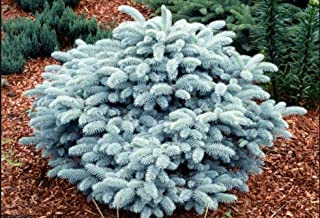 Globe Colorado Blue- Forms a Compact Round Ball 2 - Year Live Plant