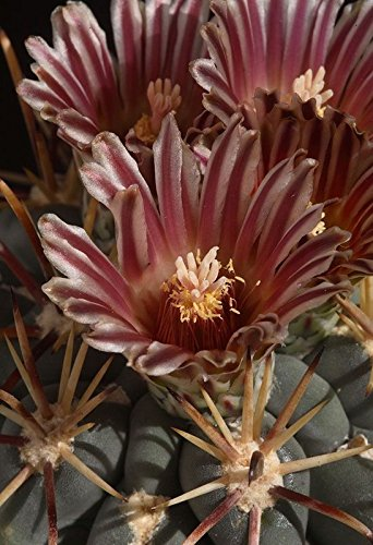 seedsfromHungary GLANDULICACTUS mathssoni, rare beautiful flower, 10 seeds