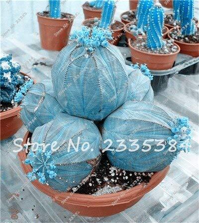 6: Rare Exotic Cactus Seeds Plantes Succulentes Cactus Bleus Pour La Décoration De La Maison Jardin Purifiez L'air Et Empêchent Le Rayonnement - 100 Pcs