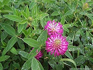 487 Seeds of Trifolium pratense Mammoth, Red Clover, Mammoth Red Clover