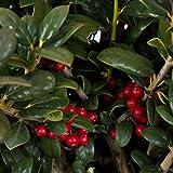 3 Gallon - Dwarf Burford Holly(Ilex cornuta 'Burfordii') - Evergreen Shrub with Glossy Green Foliage