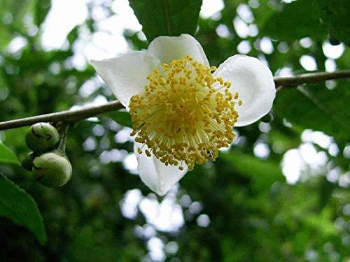 New cultures chinoises Graines de thé vert arbre frais GRAINES CAMELLIA sinensis Garden Bonsai thé vert plantes fleur