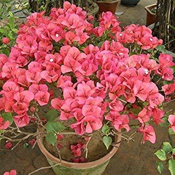 Fash Lady 10 * Mã©Lange de Couleurs de Bougainvillier Spectabilis Willd Seeds