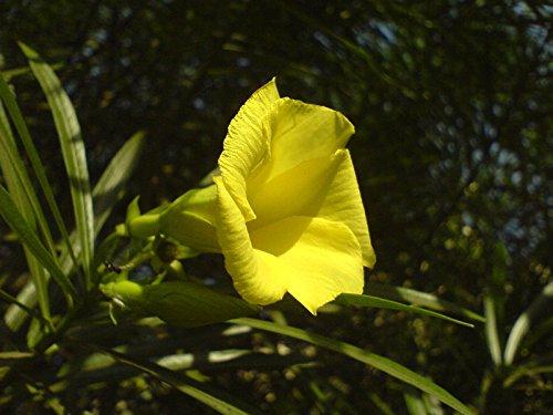 lauriers roses, jaune arbre arbuste à feuilles persistantes, TROPICAL fleur SCENTED, 5 graines