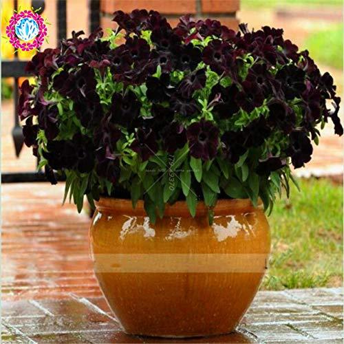 Elitely 30 Teile/beutel Seltene Schwarze Petunie, Klettern Bonsai Morning Glory Blume, Topf Samen Dekoration Hausgarten Einfach Zu Wachsen: 1