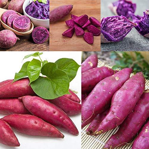 TOMASA Jardin-50 piezas de patata dulce semillas de jardín hortalizas frescas deliciosas,...