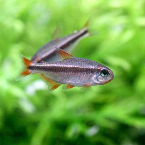 (熱帯魚)レッドデビル・テトラ オス(ワイルド)(1匹) 本州・四国限定[生体]