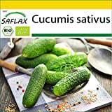SAFLAX - Anzucht Set - BIO - Gurke - Vorgebirgstraube - 15 Samen - Mit Mini-Gewächshaus, Anzuchtsubstrat und 2 Töpfen - Cucumis sativus