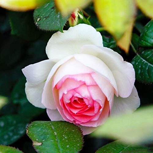 Climbing Rose Seeds-100PCS Coloridas flores de rosas Plantas para jardín Hogar Balcón Cercas Decoración Plantas Flores (Mimi Eden Rosa Seeds)