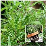 vista 400 semi di rosmarino pianta da giardino fai da te facile da coltivare erba, semi di ortaggi sani