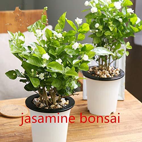 Pinkdose 10 pz piante gelsomino bianco, arabo del gelsomino pianta aromatica buon odore di fiori cinese per la semina giardino di casa