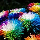 Dyyicun12 - Semillas de crisantemo para casa, jardín, flores, bonsái, arcoíris, 20 unidades