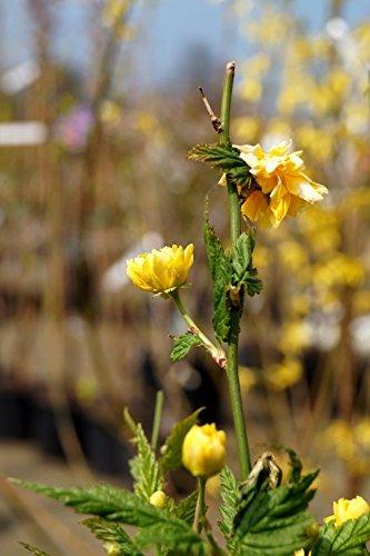 Gefüllter Ranunkelstrauch Kerria japonica Pleniflora Containerware 60-100 cm