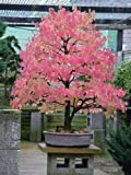 Somarac - Japanese Katsura, Cercidiphyllum japonicum, 150 Seeds (Fall Color, Bonsai)- Fresh Seeds
