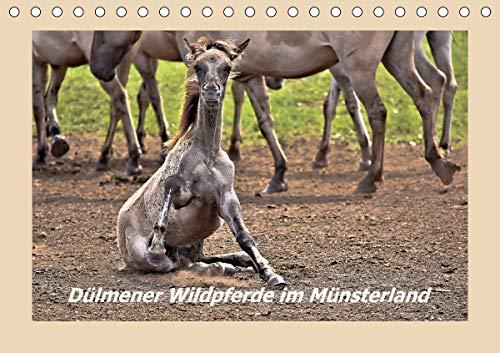 Dülmener Wildpferde im Münsterland (Tischkalender 2021 DIN A5 quer)