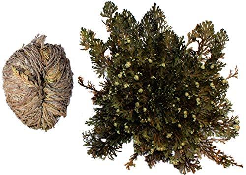 Rose von Jericho, Ein Wunder der Natur. 50 Pflanzen Größe S, ca 30-35 g