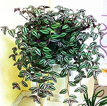100pcs Zebrina pendula Schnizl Samen für den Hausgarten Pflanze Staude hoch Budding Garten Pflanzen Samen
