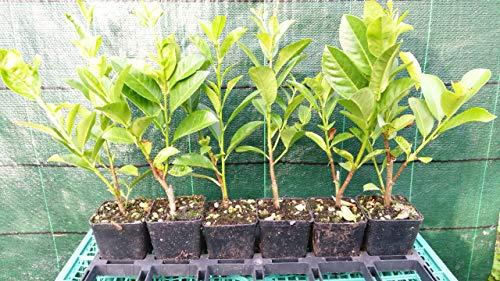 Lauro 30 piante (foto reali)
