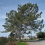 SANHOC Samen-Paket: 50 Torrey Pine Seed Samen, Pinus Torreyana -