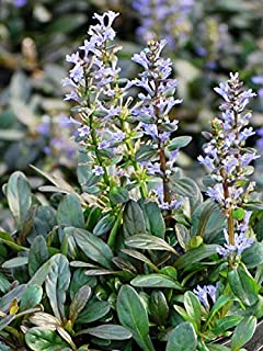 Perennial Farm Marketplace Ajuga r. 'Chocolate Chip' (Dwarf Bugle Weed) Groundcover, 1 Quart, Dark Brown Foliage
