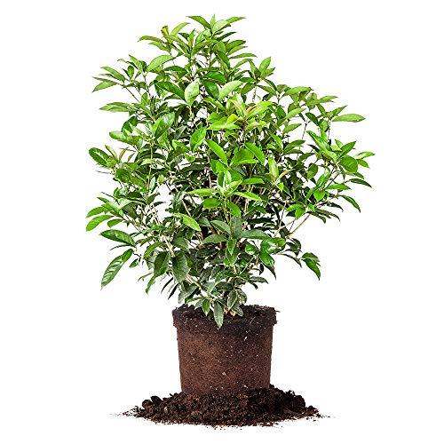 Perfect Plants Tea Olive Live Plant, 3 Gallon, Includes Care Guide