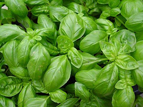 Lot de 25 Graines Basilic Grand Vert avec Larges Feuilles - Taille : 40 à 60 cm