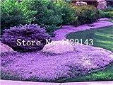 Generic Fresh 100 piezas de semillas de flores ROCK CRESS para plantar lavanda