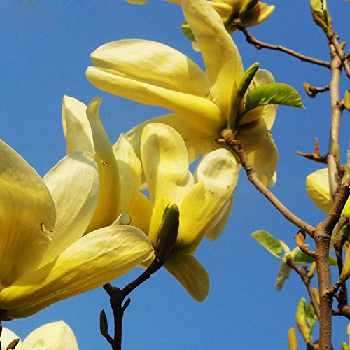 20 Stück/Beutel gelbe Magnolie Samen mehrjährige Blüten Topfbaum charmante chinesische Blumen