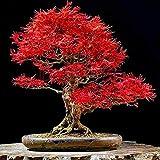 25 Piezas Hermosas Semillas De Arce Rojo Semillas De árboles De Semillas De Arce Japonés Para La Plantación De Jardines Domésticos Fácil Mantenimiento Semillas De árboles Muy Raras