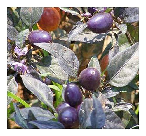 Chilli Hot Pretty Purple - Piment violet - épicé - 5 graines