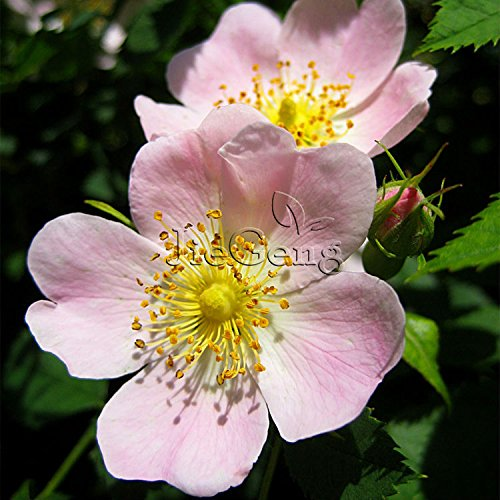 Rosa Canina Seed * 1 sachet (5 graines) * Chien Rose * Tour de hanches Rose * Herb semences * arbuste vivace * Fleur Graine Samen Sime