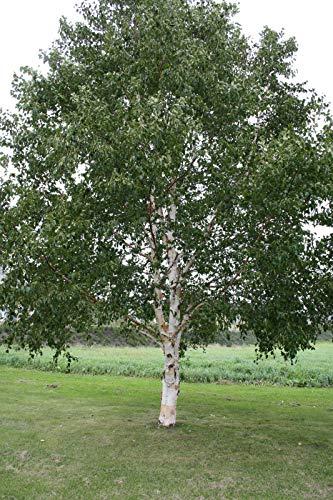 JAPANESE weiße Birke (Betula platyphylla) 100 Samen