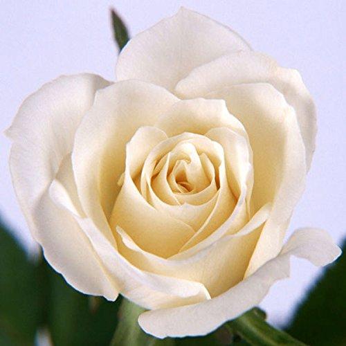 fleurs de jardin Graines Pot Bonsai Rose Seed Professional usine Semis de Floer / Vary Couleurs Sélection 20 graines / paquet