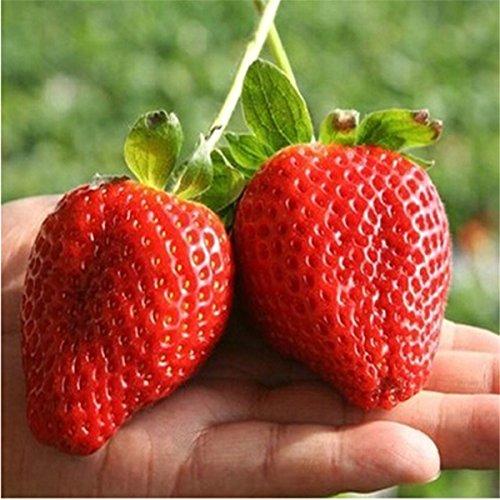 Pathonor 100Pcs Semi di Fragola Gigante, Fragola Rosso Gigante, Semi di Frutta per la casa e Giardino Semi Bonsai