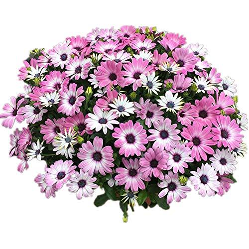 Ringelblume Südafrika Pflanzen Samen 50+ Bio Aster Tagetes Erecta Einfach zu züchtende frische Blumensamen zum Pflanzen von Gartenhof im Freien