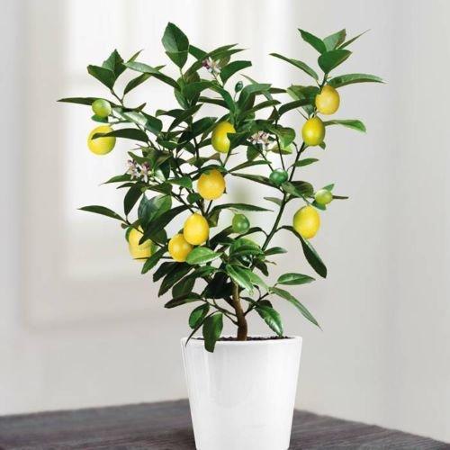 10 graines de citronnier citron jaune bansai