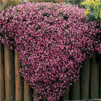 Bloom Green Co. 200 pcs fleur rare Afrique Chrysanthemum intérieur & amp; populaire en plein air Daisy belles fleurs Bonsai Accueil & amp; Pots de jardin 60: 4
