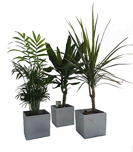 Dominik Blumen und Pflanzen, Zimmerpflanzen Palmen-Trio im Scheurich Würfeltopf grau-stone, circa 14 x 14 x 14 cm, 3 Pflanzen und 3 Töpfe, grün