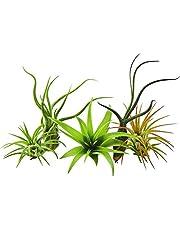 GEOPONICS Paquete de 5 plantas raras Tillandsias planta de aire por parte de US Jardines vivo Planta de la casa con nosotros Flant