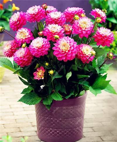 HONIC 100 Stück Dahlie-Blumen-Pflanzen Chinese Charme Outdoor & Indoor Bonsai Dahlia Anlage für Hausgarten Staudentopfpflanzen: 6