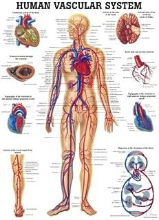 Anatomical Worldwide CH06 The Human Vascular System Laminated Anatomy Chart