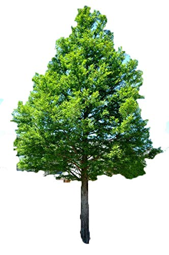 Grower's Solution Bald Cypress Tree