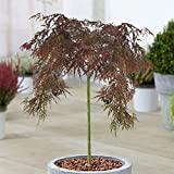Acer Inaba Shidare Tree | Vibrant Japanese Maple Ornamental Potted Trees for Small Gardens | Deciduous Straight Lollipop Standard Stem (70-80cm (Incl. Pot))