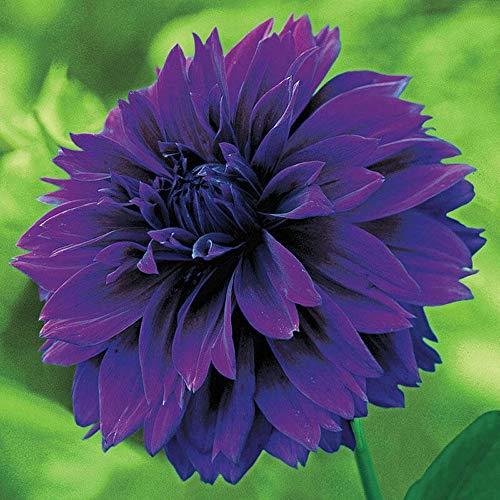 Dahlienzwiebeln, grün, dunkellila, einfach zu pflanzen, magische Herbstblumen, Dekoration, wunderschöner Charm, niedlich, 1 Dahlie-Blumenzwiebeln