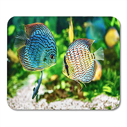 Mouse Pads Blue Fish Symphysodon Discus in Aquarium on Green Colorful Tropical Tank Mouse pad 25 X 30 CM