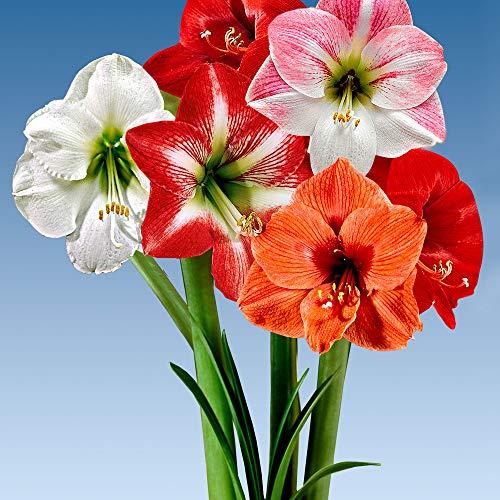 Ritterstern Mix 5 Stück Blumenzwiebeln, Direkt von holländischem Boden.