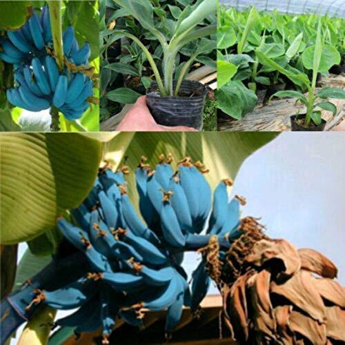 HONIC 50 PC Banana Blue Banana Baum Bonsai Köstliche Seltene Frucht Musa Blau Java Garten Rasen Gartendekoration Pflanzen
