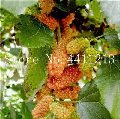Bloom Green Co. Gran promocin !!!20 Piezas Negro Morera Bonsai Morus Nigra Ãrbol Jardn Arbusto Jardn de casa DIY: 6